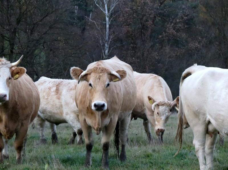 troupeau vaches2