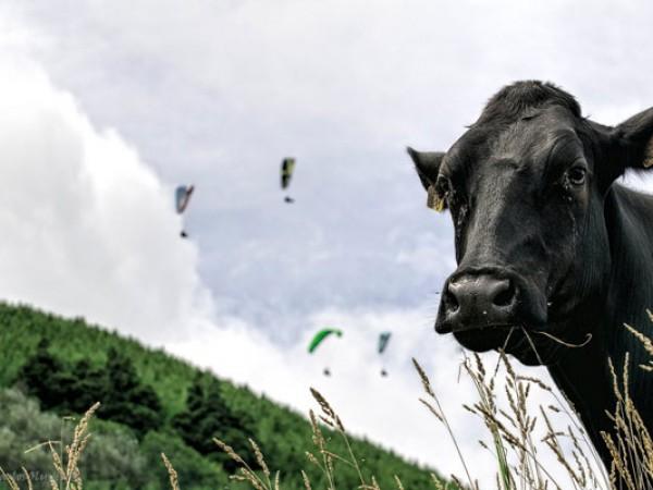 partir voler au acores vaches