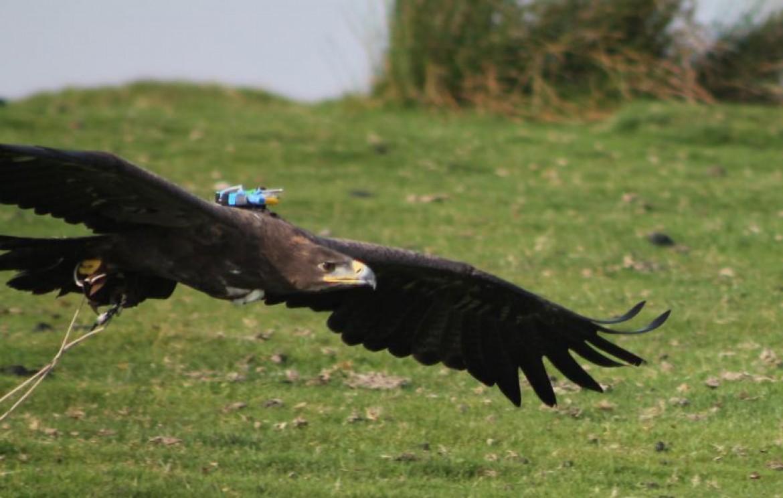 Les « ailes pliées », la réaction des oiseaux planeurs face aux turbulences