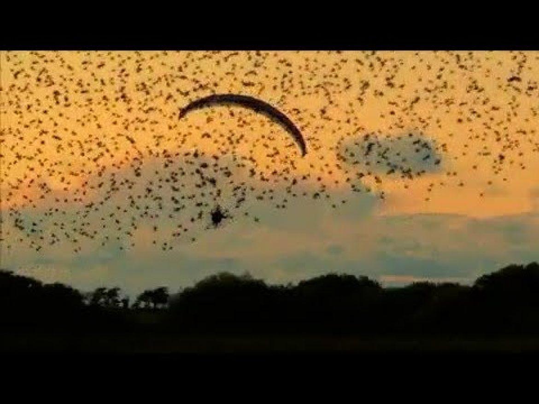 Horacio Llorens vole au milieu des étourneaux dans le ciel danois