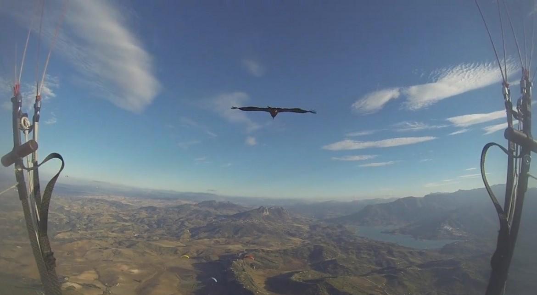 Long glide parapente avec un vautour curieux à Algodonales