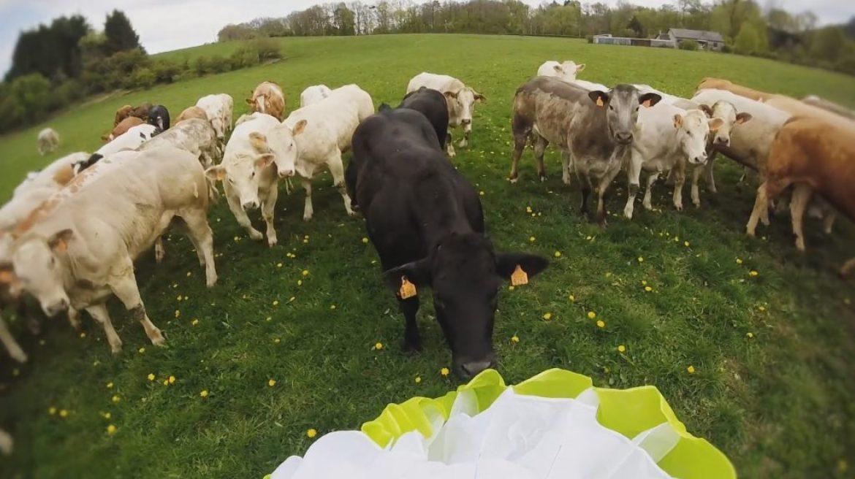 Histoires et vidéos de vaches en parapente avec des vaches !